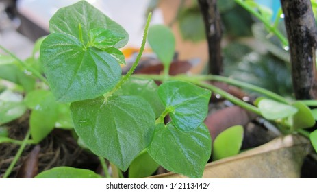 Peperomia, (Peperomia pellucida) Weeds, succulent plants, in Thailand (Thai name is Krasang ) Used as a herbal treatment for blood pressure