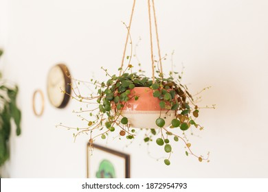 Peperomia Pepperspot in pink hanging planter