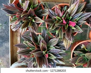 peperomia purple delight plant