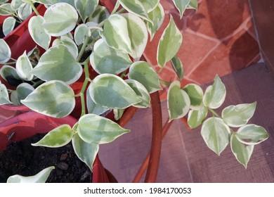 Peperomia serpens,  beautiful popular decorative plant.  Selective focus.