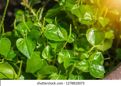 Peperomia, Shiny leave (Peperomia pellucida) in the herb garden
