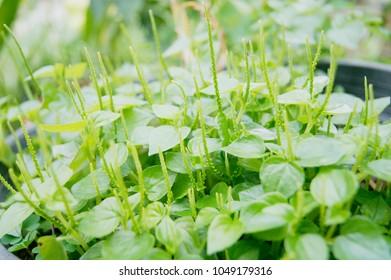 Peperomia, Shiny leave, Peperomia pellucida (L.) Kunth, Peperomia pellucida Korth, Pellucoid-leaved Pepper, PEPEROMIACEAE.
