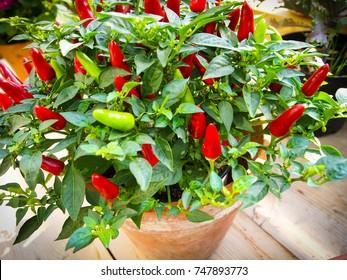 Pepper chilli tree