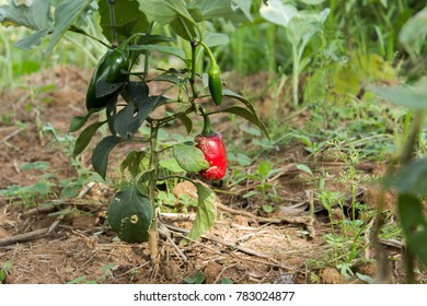 Pepper cultivation in the field
