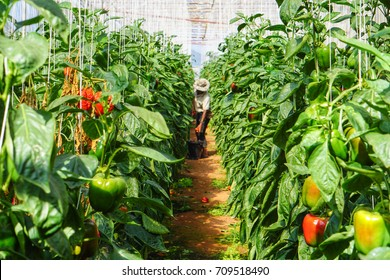 Pepper farming has growth of bell pepper plants inside a greenhouse farmer harvesting agricultural produce for sale to traders fresh food market bell pepper color differs from yellow orange red green