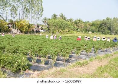 Pepper garden.