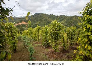 Pepper Plant Crop,Batang Ai National Park, Sarawak, Borneo, Malaysia