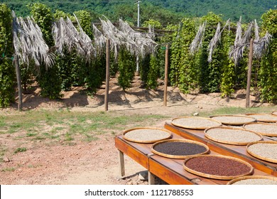 Pepper plantation and pots with black, white and red ground pepper - Cambodia, Asia.