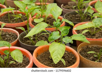 Pepper plantlets in a greenhouse ready to use in a biotechnology experiment