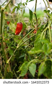 Pepper ready to be harvested