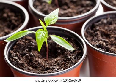 Pepper seedling in flower pot