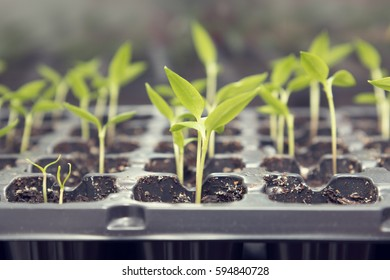 Pepper seedling transplants growing in a plastic tray. Sprouting pepper seedlings in propagator trays. Shallow depth of field. Coloring and processing photo