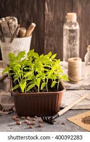 Pepper seedlings plants in rustic environment
