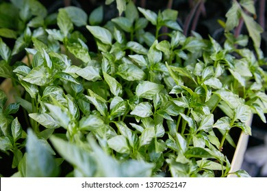 Pepper Seedlings, young foliage of pepper, Spring seedlings. Sprouts pepper near the window.