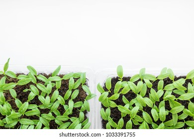 Pepper sprouts. Plants in the home. Preparation of seedlings of peppers for planting in the ground.