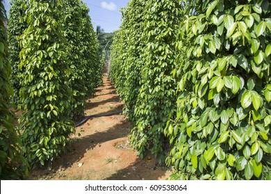 Pepper tree garden in the sunlight on Phu Quoc island, Vietnam
