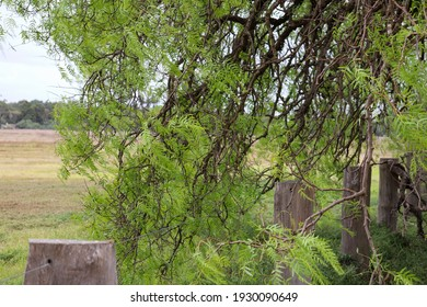 peppercorn tree and rural fence