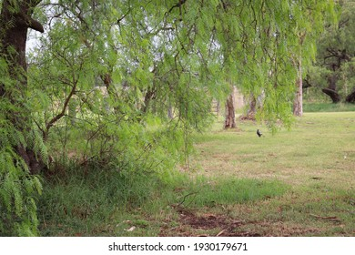 peppercorn tree in rural landscape