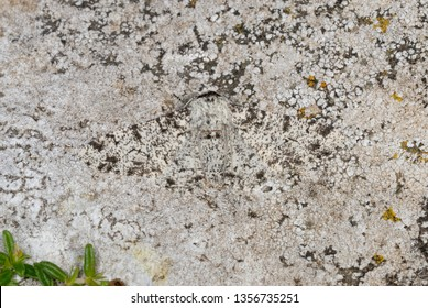 Peppered Moth Images, Stock Photos & Vectors | Shutterstock