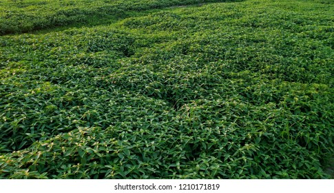 Peppermint Field backgrounds