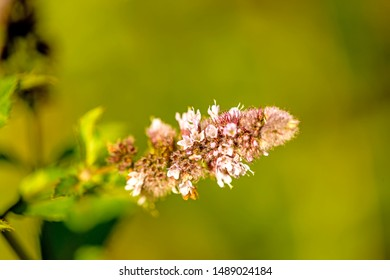 peppermint with flower in summer