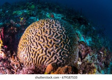 A peppermint gobey resting on a brain coral