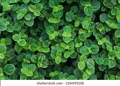 peppermint leaves nature pepper mint background and texture objects pepper mint is fragrant used to cook and quench the bad smell
