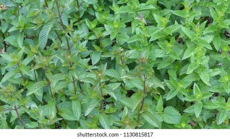 Peppermint (Mentha × piperita, Lamiaceae family.