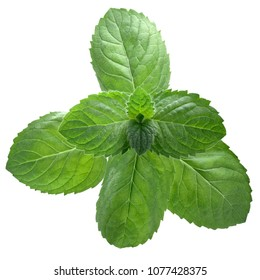 Peppermint or mint leaves (Mentha piperita), top view