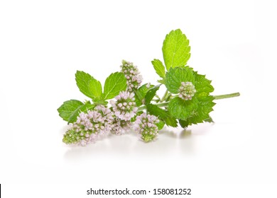 Peppermint plant isolated on white background.