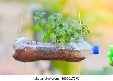 Peppermint in recycle plastic bottle at