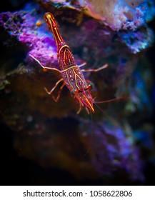 Peppermint shrimp in the ocean