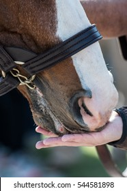 Peppermint Treats eaten out of a trainers hand by a brown and white horse