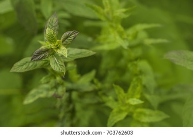 Peppermint twig. Selected focus on green background.