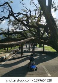 Perak, Malaysia - Oktober 25,2020 : Raintree at Taman Tasik Taiping Being Preserved even Nearly Fall Onto The Ground
