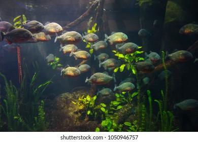 Peranhas in the aqarium