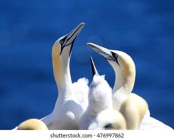 PERCE, QUEBEC - AUGUST 23, 2016: Northern gannets on Bonaventure Island near Perce, in eastern Quebec, Canada.