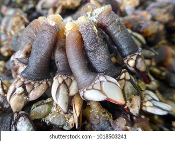 Percebes, Barnacles, crustaceans, delicacy, seafood. (Percebes) (Pedunculata) (Pollicipes pollicipes) Goose necked barnacles are known in Spain and Portugal as Percebes. They are valued as seafood.