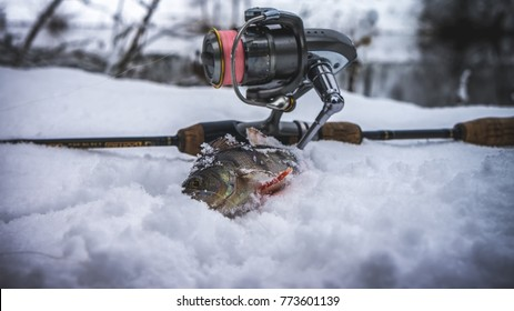 Perch caught in winter spinning
