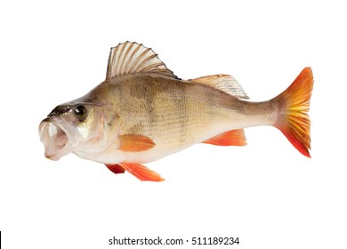 Perch curved for attack with opened mouth  isolated over white background.