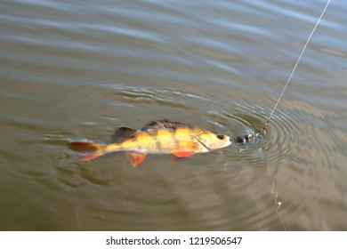 perch, fish with bait vortu on a hook on a fishing line sunshine glint, bright coloring