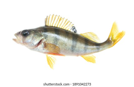 Perch fish isolated on white background.