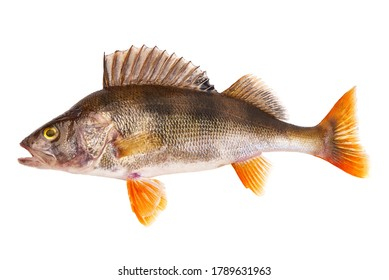 Perch fish, (perca fluviatilis), predatory fish, isolated on white background.
