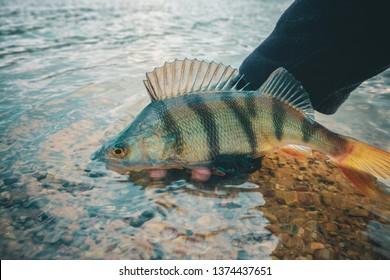 Perch in fisherman hand.