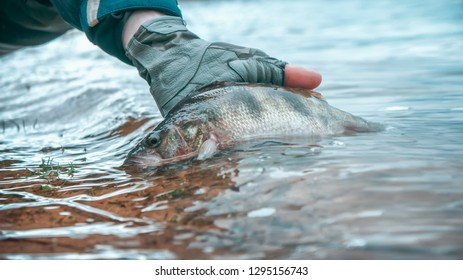 Perch in the hand of an angler. Catch and release.