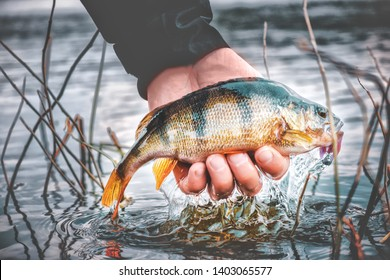 Perch in the hand of angler. Fishing for soft bait.