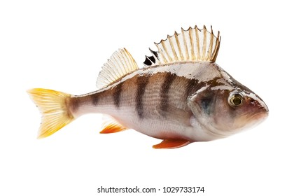 perch isolated on white background