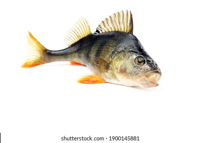 Perch isolated on white background. Fish with open mouth and protruding fins.