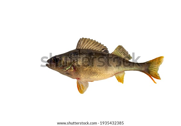 perch isolated on a white background.