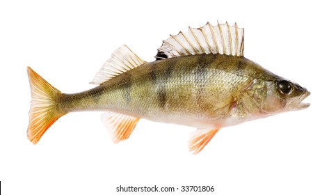 Perch (Perca fluviatilis) fish isolated on white